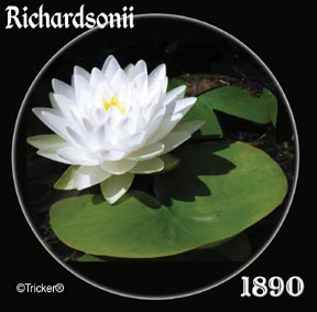 Richardsonii - Hardy Water Lily
