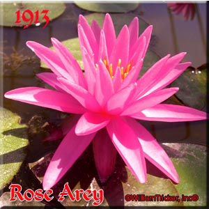 Rose Arey - Hardy Water Lily
