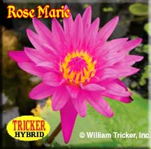 Rose Marie - Tricker Water Lily Hybrid