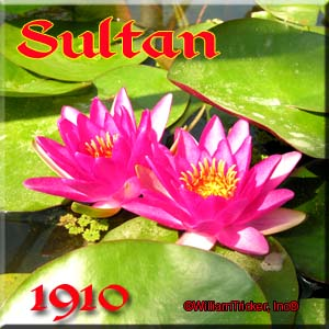 Sultan - Hardy Water Lily