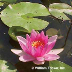 Sumptuosa - Hardy Water Lily