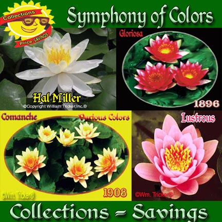 Symphony of Colors - 4 Hardy Water Lilies