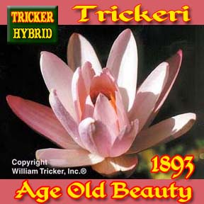 Trickeri - Tricker Night Blooming Hybrid