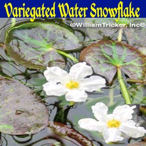 Variegated Water Snowflake