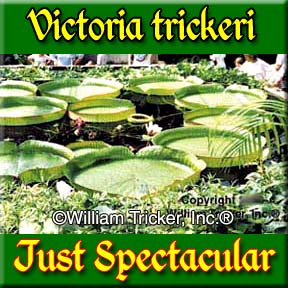 Victoria trickeri - A Spectacular Lily