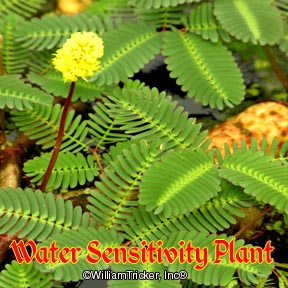 Water Sensitivity Plant