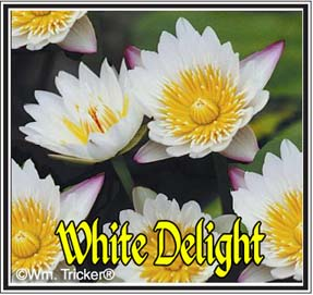 White Delight - Water Lily