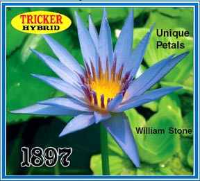 William Stone - Tricker Water Lily Hybrid