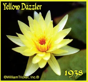 Yellow Dazzler - Tropical Water Lily