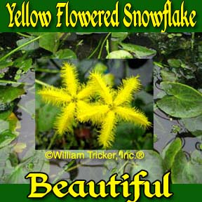 Yellow Flowered Snowflake