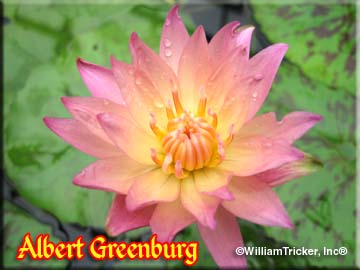 Albert Greenburg - Tropical Water Lily