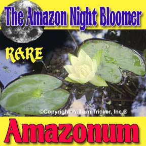 Amazonum - Night Blooming Lily