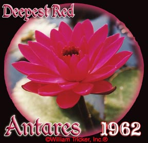Antares - Night Blooming Lily