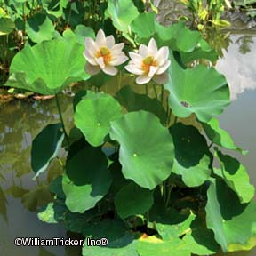 Asiatic Lotus