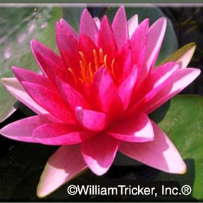 Attraction - Hardy Water Lily