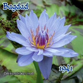 Bagdad - Tropical Water Lily