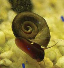 Black Ramshorn Snails