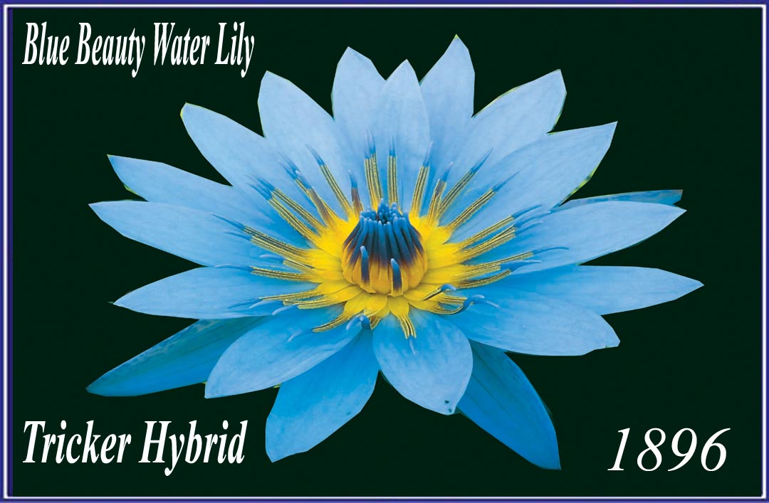 Blue Beauty - Tricker Water Lily Hybrid