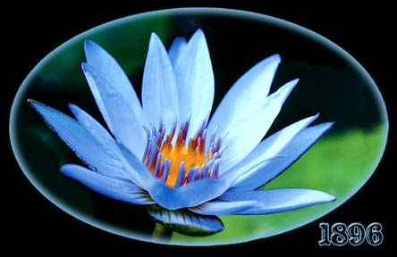 Duet of Fragrance - 2 Water Lilies