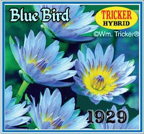 Blue Bird - Tricker Water Lily Hybrid