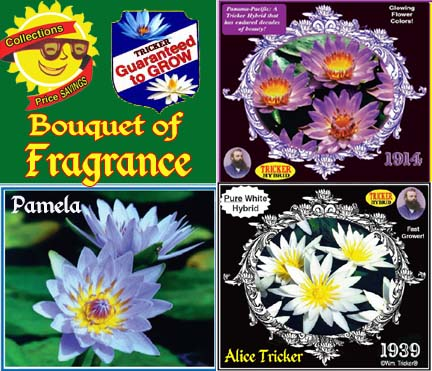 Bouquet of Fragrance Collection - 3 Tropical Water Lilies