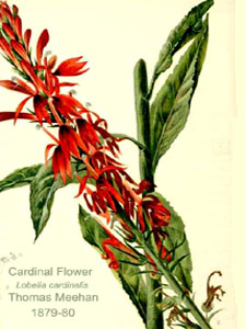 Cardinal Flower - True Aquatic