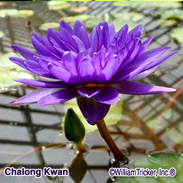 Chalong Kwan - Tropical Water Lily