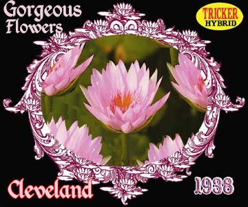 Cleveland - Tricker Water Lily Hybrid