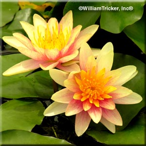 Comanche - Hardy Water Lily