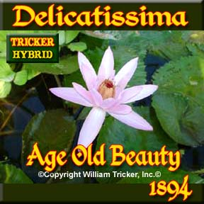 Delicatissima - Tricker Night Blooming Hybrid