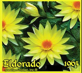 Eldorado - Tropical Water Lily