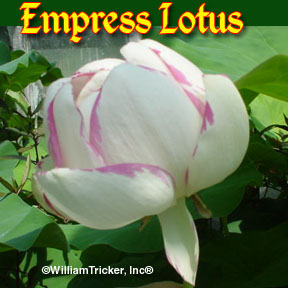 Empress - Hardy Lotus