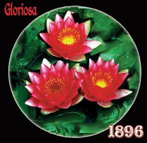 Gloriosa - Hardy Water Lily