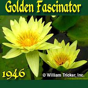Golden Fascinator - Tropical Water Lily