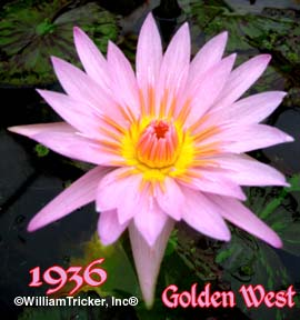 Golden West Tropical Water Lily