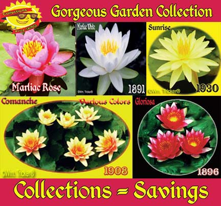 Gorgeous Garden Collection - 5 Hardy Lilies