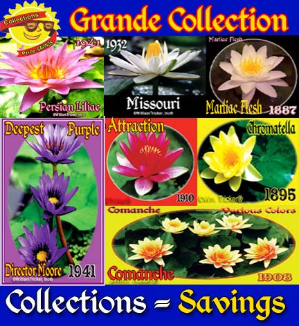 Grande Collection - 7 Lilies