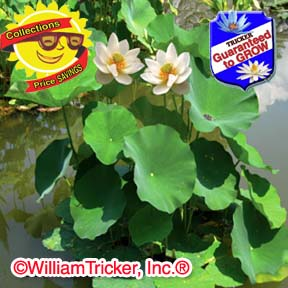 Lotus and Water Lily Collection - Cost Savings
