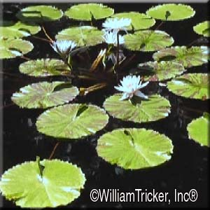 Marmorata - Tropical Water Lily