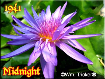 Midnight - Water Lily