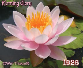 Morning Glory - Tricker Hardy Water Lily Hybrid