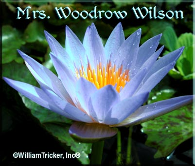Mrs Woodrow Wilson - Tricker Award Winning Water Lily Hybrid