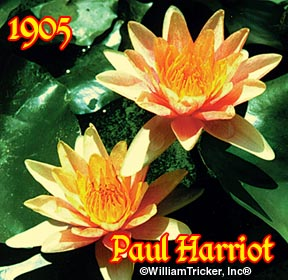 Paul Hariot - Hardy Water Lily