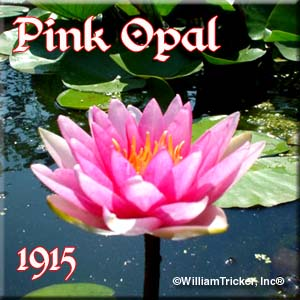 Pink Opal - Hardy Water Lily