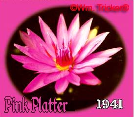 Pink Platter - Water Lily