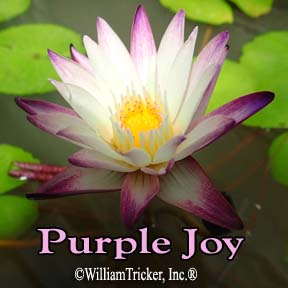 Purple Joy Water Lily
