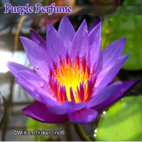 Purple Perfume Water Lily - Tricker Hybrid