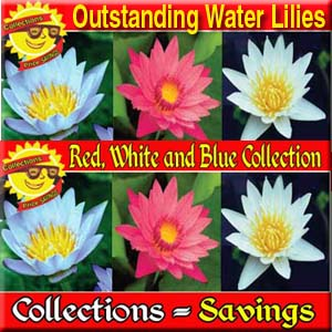 Red White and Blue Collection - 3 Tropical Water Lilies