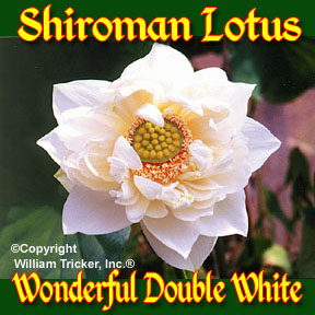 Shiroman - Hardy Lotus