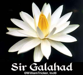 Sir Galahad - Night Blooming Lily